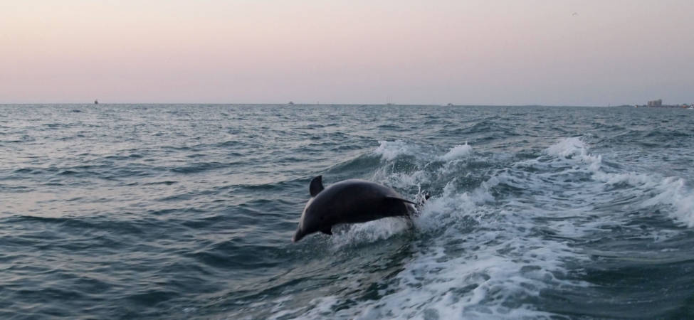 Dolphins playing in the ocean - 2011